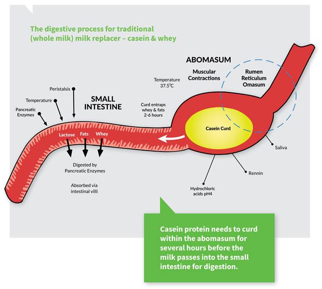 Digestion of casein