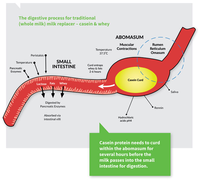 Digestive Process For Casein Milk Replacerweb Agrivantage