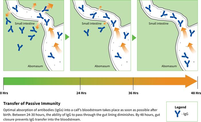 Transfer of passive immunity