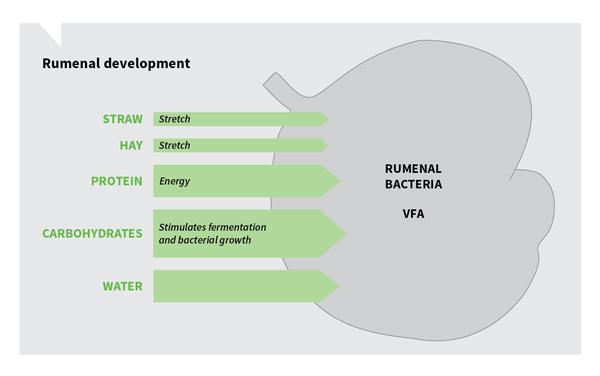 Rumenal-development-diagram