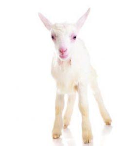 Primo Goat