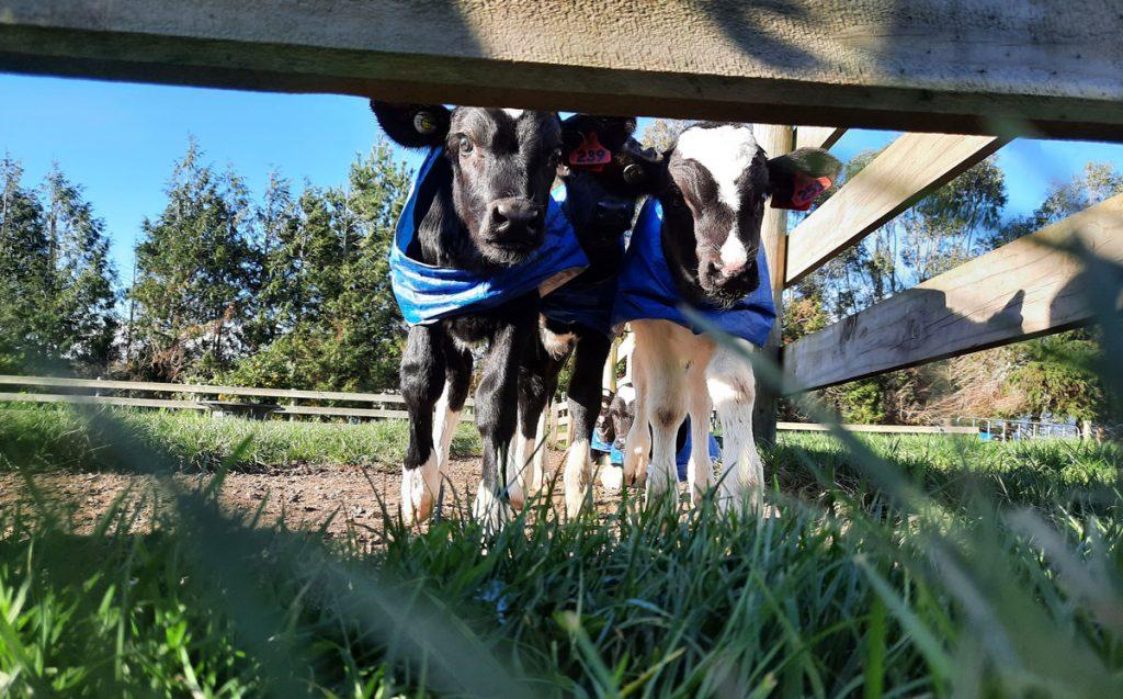 Fortifying milk for calves